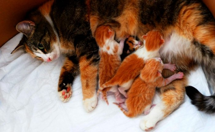 Dişi Kedi Kızgınlık Dönemi Davranışları ve Doğuma Hazırlık