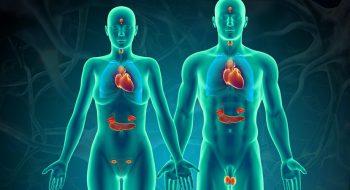 Endokrin Sistem Nedir ? Endokrin Bezleri Nelerdir ?