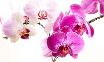 Orkide Çiçeği Bakımı Evde Nasıl Olur ?